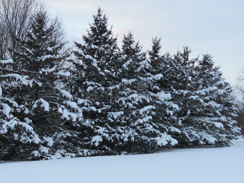 Arbres à feuilles persistantes avec un revêtement d'hiver de neige photographie stock