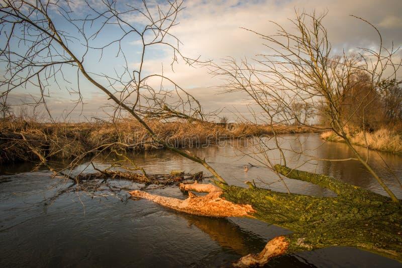 Arbres abattus en rivière par des castors sur la Pologne photographie stock