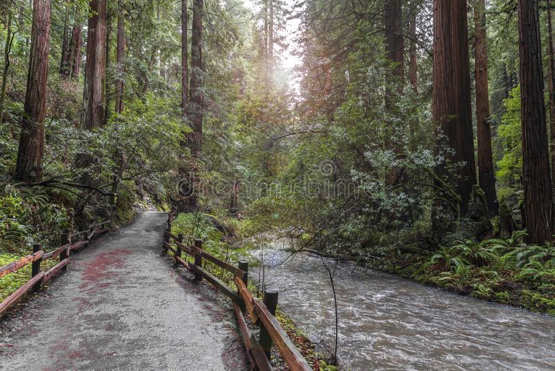 Arbres au parc de Muir Redwood photo libre de droits