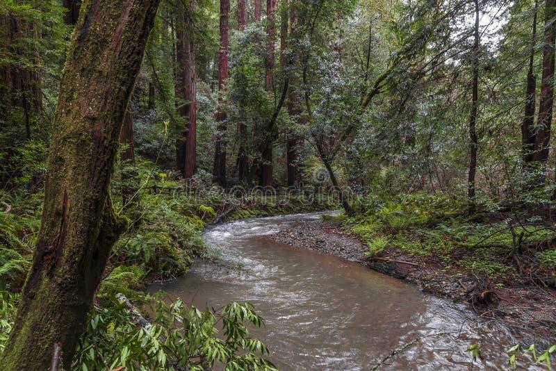 Arbres au parc de Muir Redwood photos libres de droits
