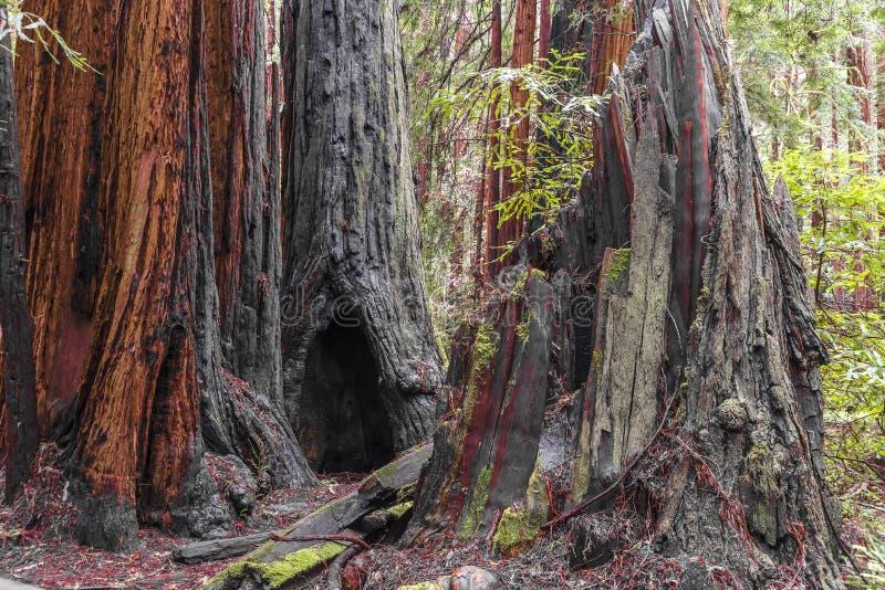 Arbres au parc de Muir Redwood images stock