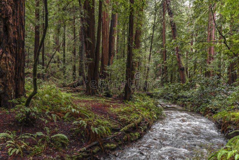 Arbres au parc de Muir Redwood image libre de droits