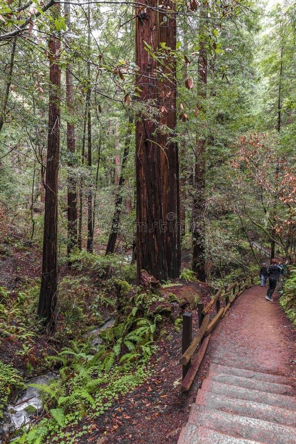 Arbres au parc de Muir Redwood photographie stock libre de droits