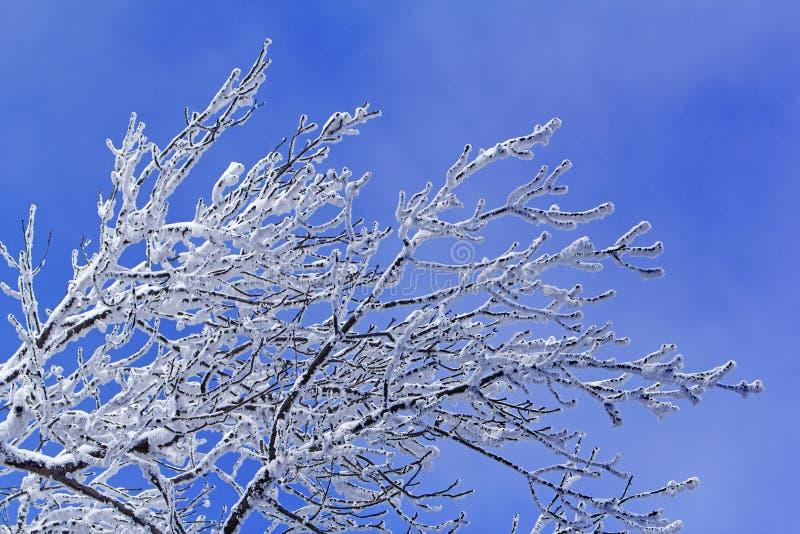 Arbres avec des branches pleines du ciel bleu de petit morceau de neige photos stock