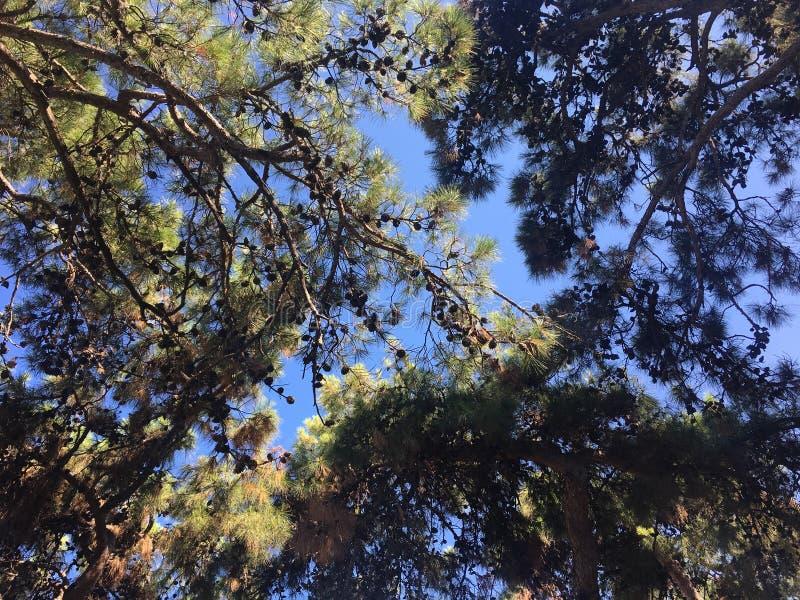 Arbres avec des cônes contre le ciel pendant l'été de 2018 sur l'île de Rhodes image stock
