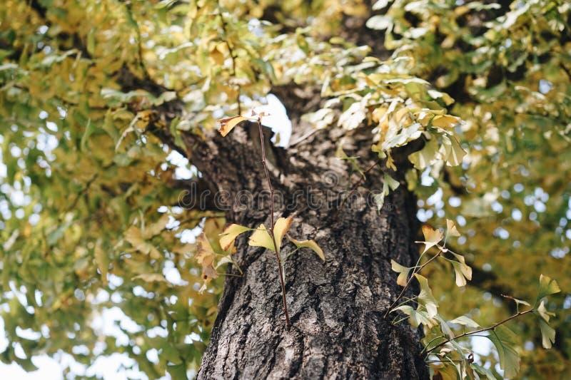 Arbres avec des feuilles de yelllow photos libres de droits