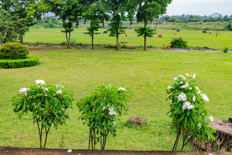 Arbres blancs de fleur de Plumeria ou de frangipani dans une rangée semblant impressionnante dans le jardin aindian avec le pâtur photos libres de droits
