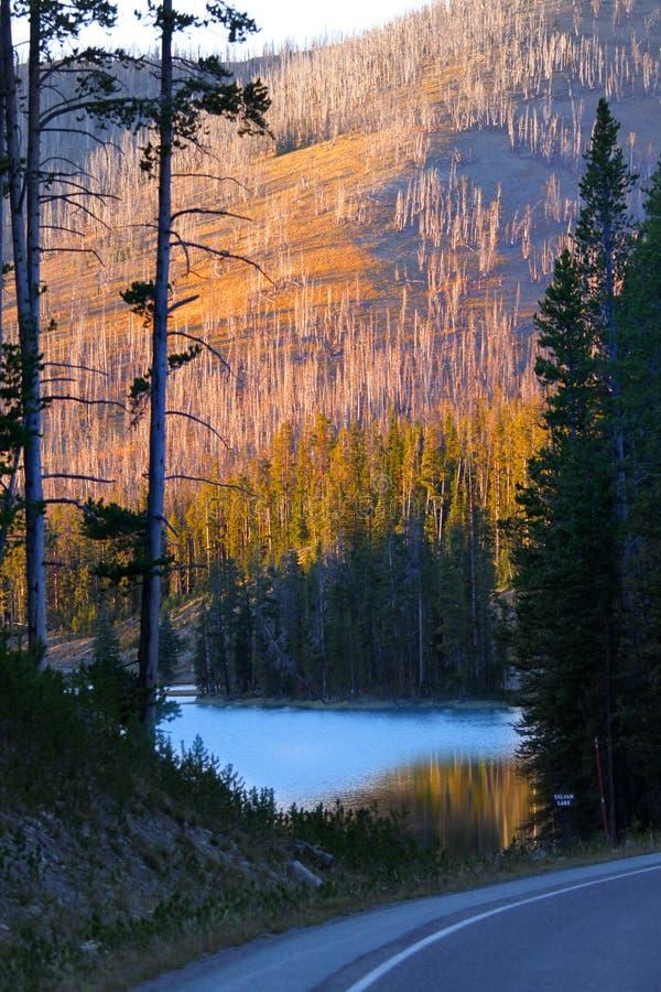 Arbres brûlés dans Yellowstone images libres de droits