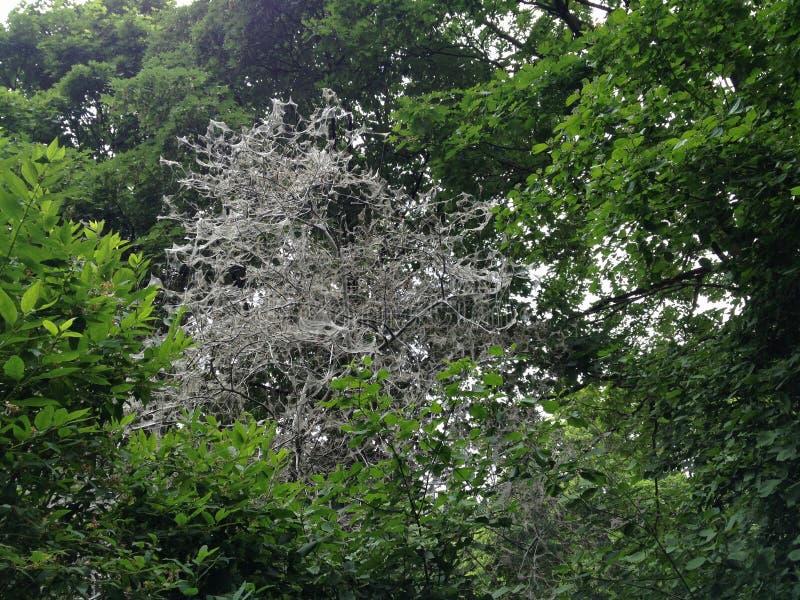 Arbres/buissons couverts en Webs par Ermine Moth semblant fantasmagorique/effrayante dans Berlin Public Park photo stock