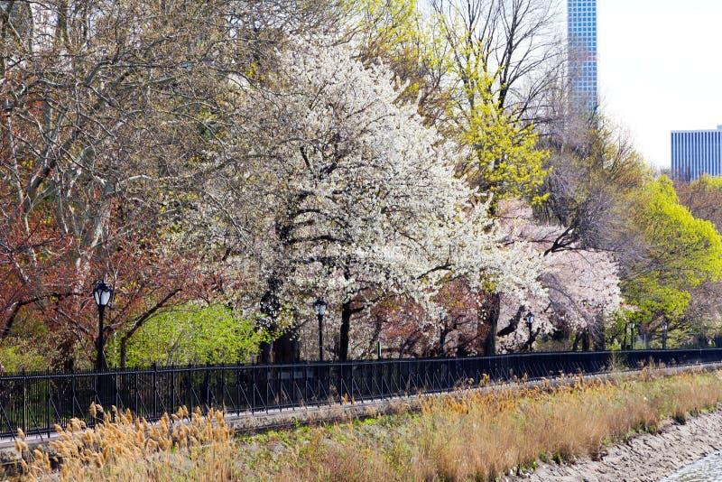 Arbres colorés de ressort dans le Central Park, New York photos libres de droits
