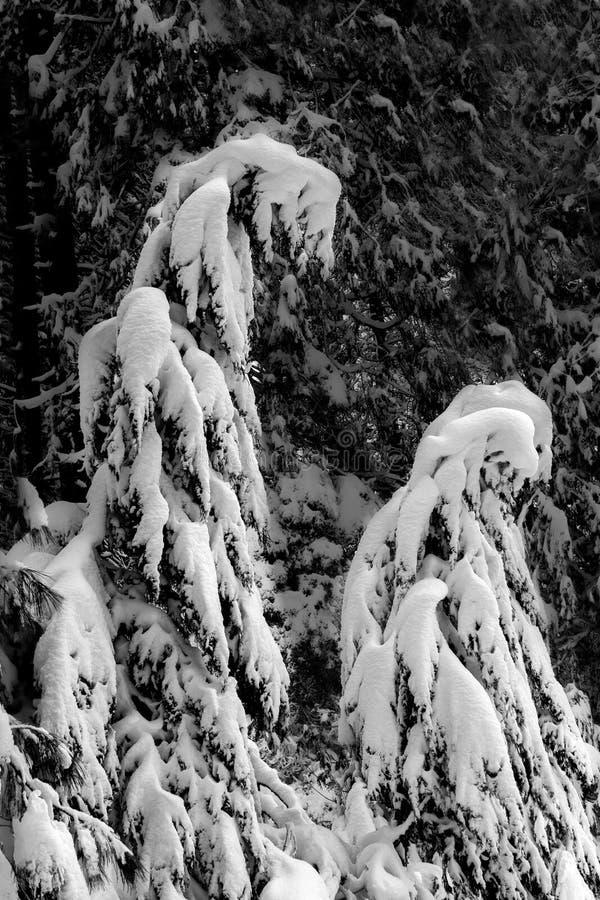arbres conif?res couverts de neige photographie stock