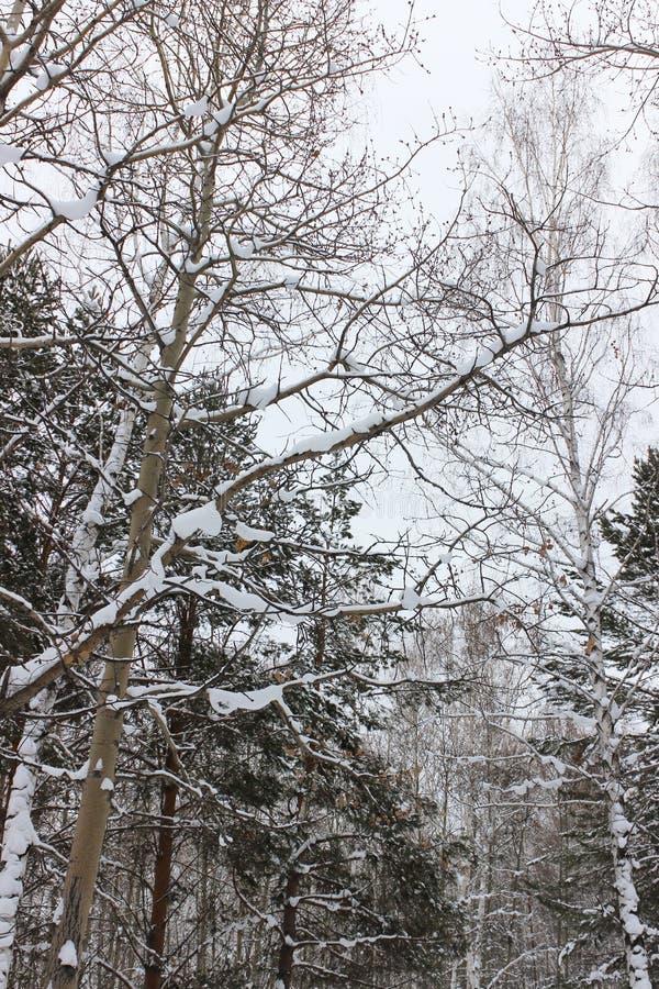 Arbres couverts de neige images stock