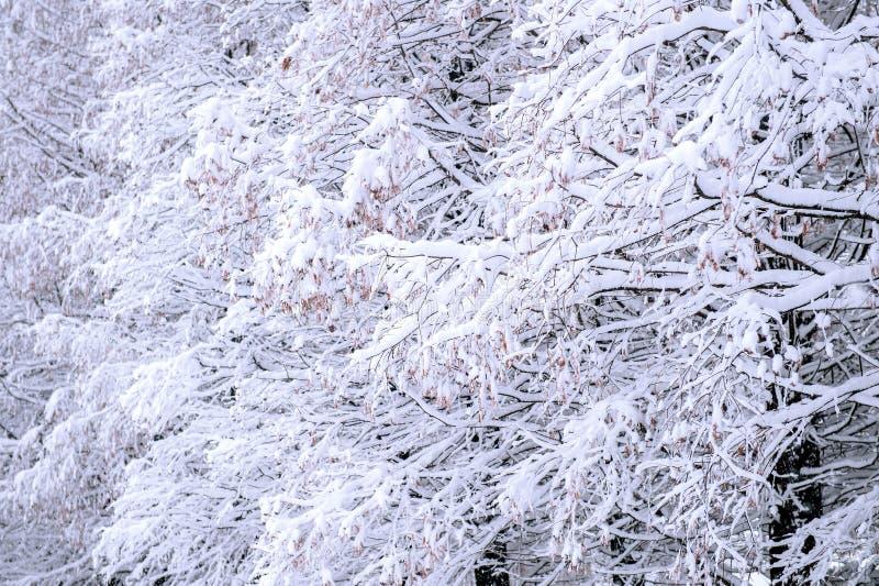 Arbres couverts par la neige en hiver photographie stock libre de droits