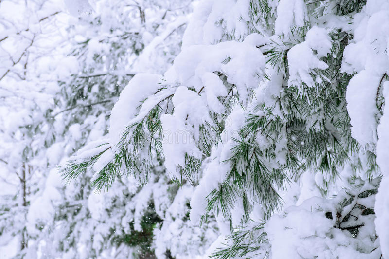 Arbres couverts par la neige en hiver images libres de droits
