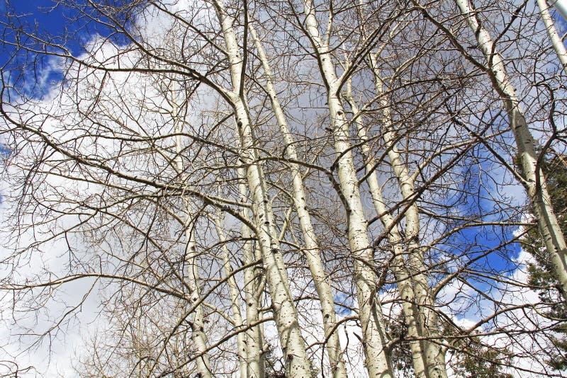 Arbres d'écorce blancs en Ski Valley Mt Lemmon photos libres de droits