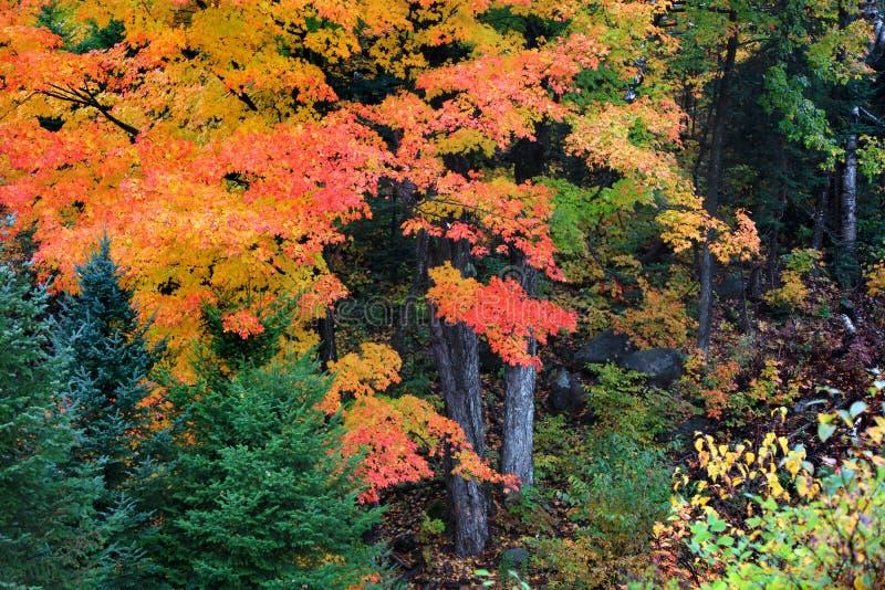 Arbres d'érable colorés dans le temps d'automne photographie stock libre de droits