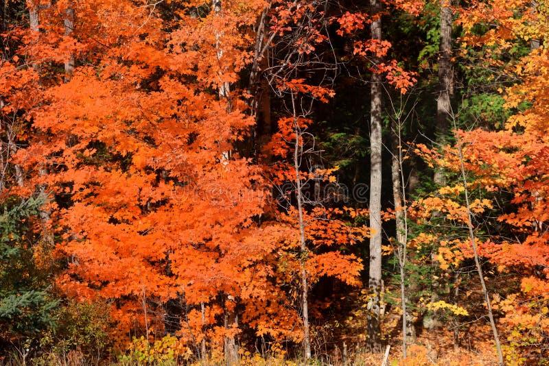 Arbres d'érable colorés dans le temps d'automne images libres de droits