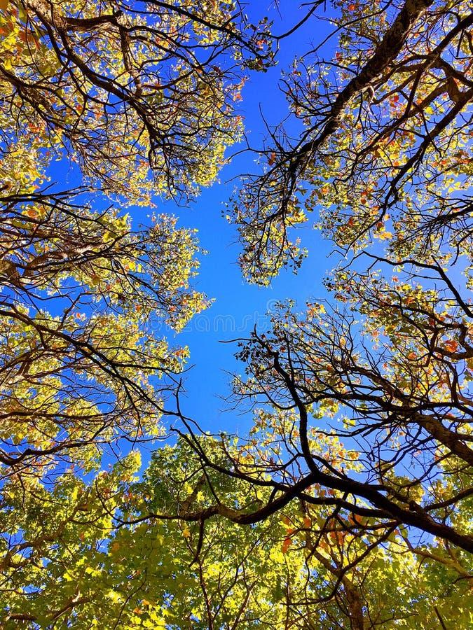Arbres d'érable en automne le Connecticut image libre de droits