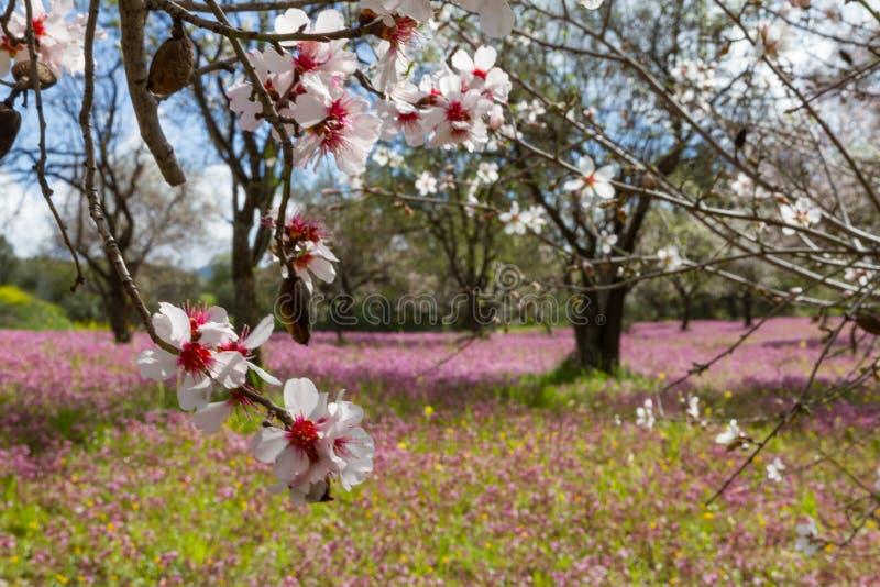 Arbres d'amande de floraison dans un domaine avec les fleurs pourpres au printemps photos stock