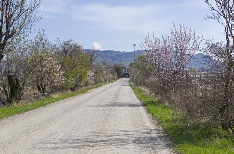 Arbres d'amande de floraison des côtés d'une route crimea photographie stock