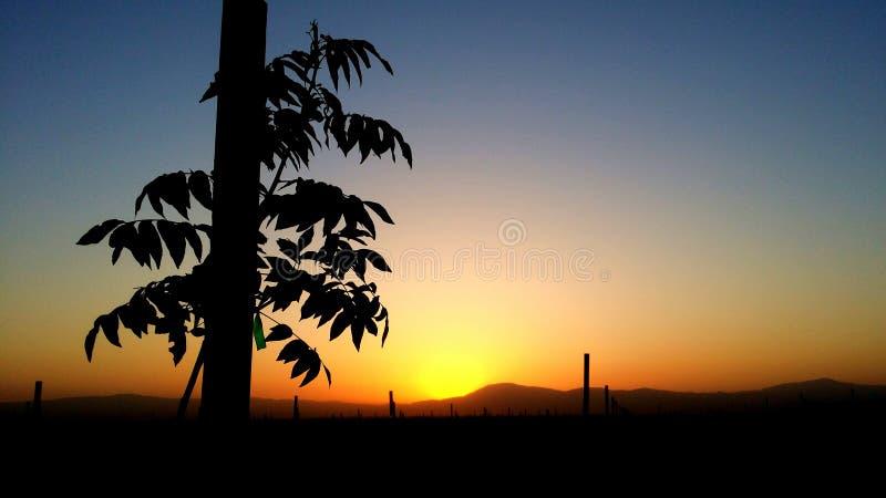 Arbres d'amande très jeunes au lever de soleil image libre de droits