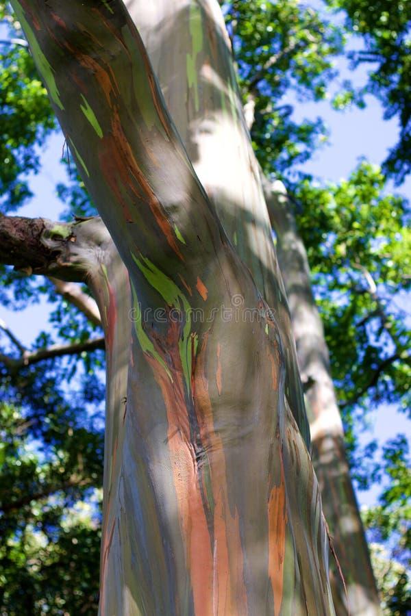 Arbres d'arc-en-ciel/forêt peinte, Maui images libres de droits