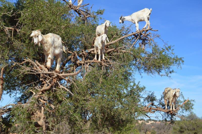 Arbres d'argan et les chèvres sur le chemin entre Marrakech et Essaouira au Maroc image libre de droits