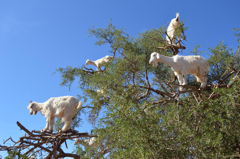 Arbres d'argan et les chèvres sur le chemin entre Marrakech et Essaouira au Maroc photos stock
