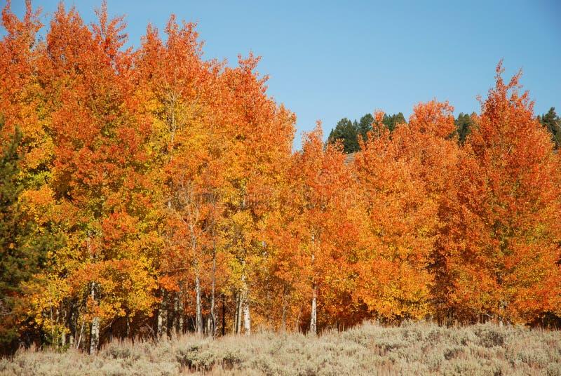 Arbres d'Aspen d'automne photos stock