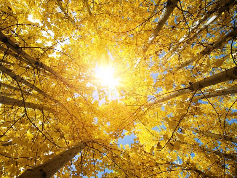 Arbres d'Aspen d'automne image stock