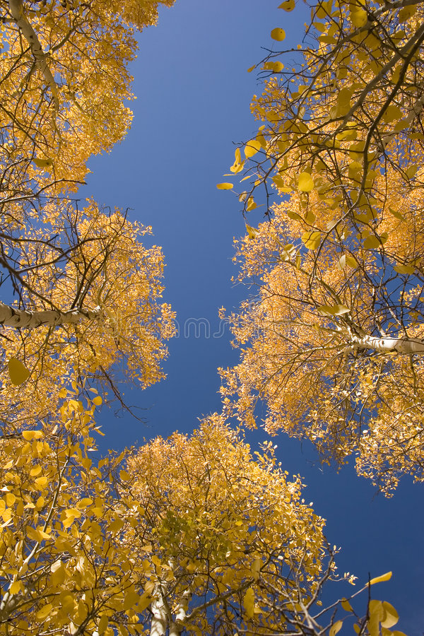 Arbres d'Aspen en automne image libre de droits