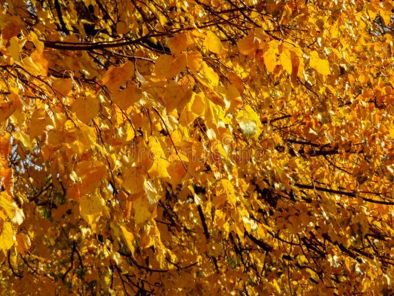 Arbres d'or d'automne photographie stock libre de droits