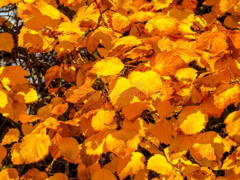 Arbres d'or d'automne images stock