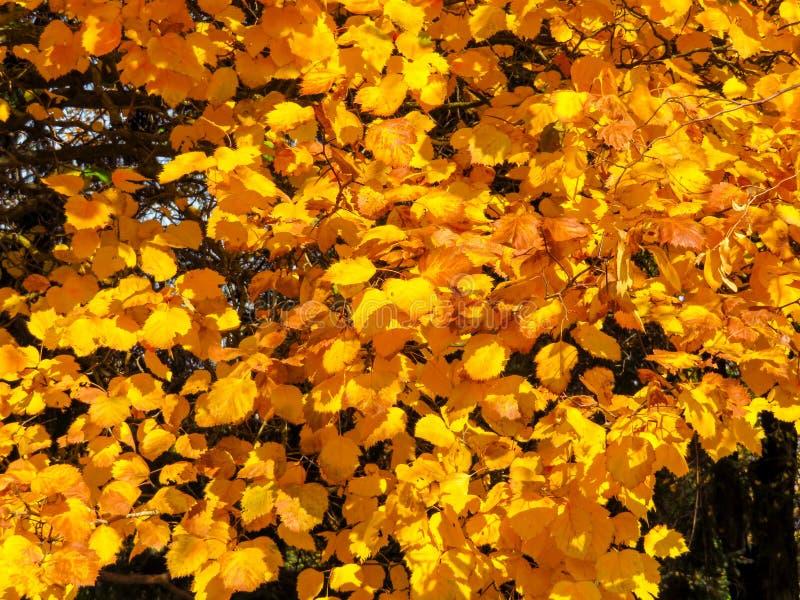 Arbres d'or d'automne photos stock