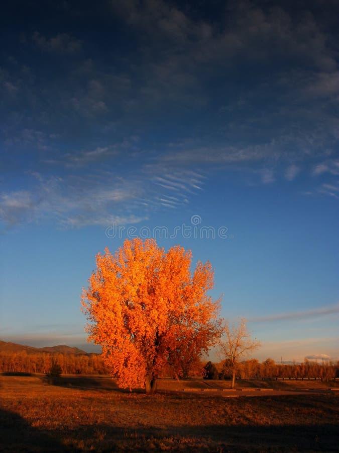 Arbres d'automne au lever de soleil avec le ciel bleu image libre de droits