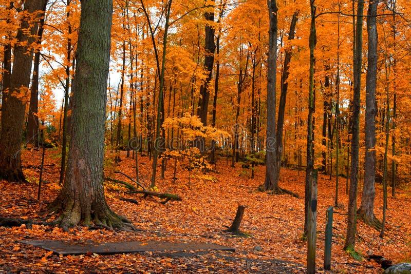 Arbres d'automne et feuilles tombées dans la forêt images libres de droits