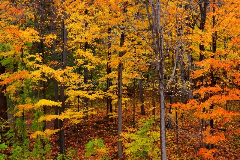 Arbres d'automne et feuilles tombées dans la forêt photo stock