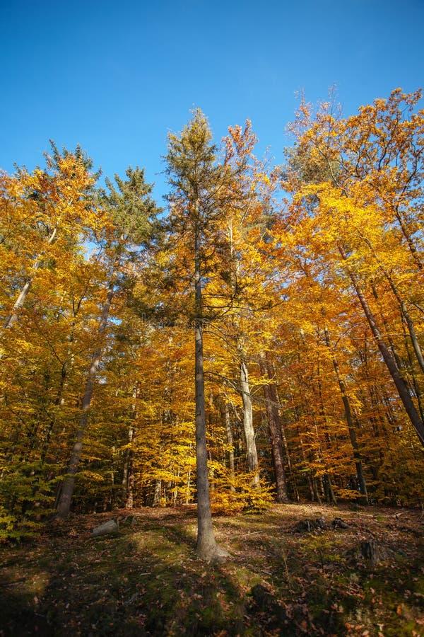 Arbres d'or dans la forêt d'automne photo stock
