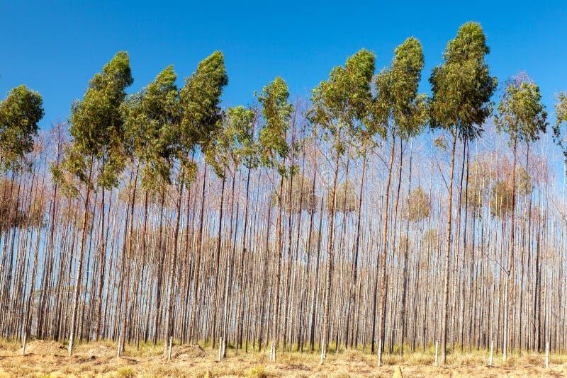 Arbres d'eucalyptus image libre de droits