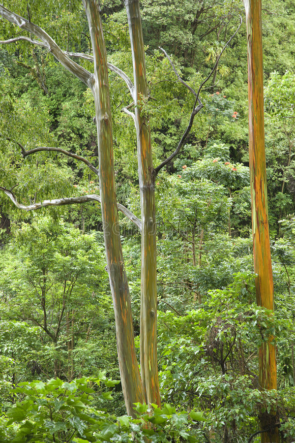 Arbres d'eucalyptus d'arc-en-ciel. photo stock