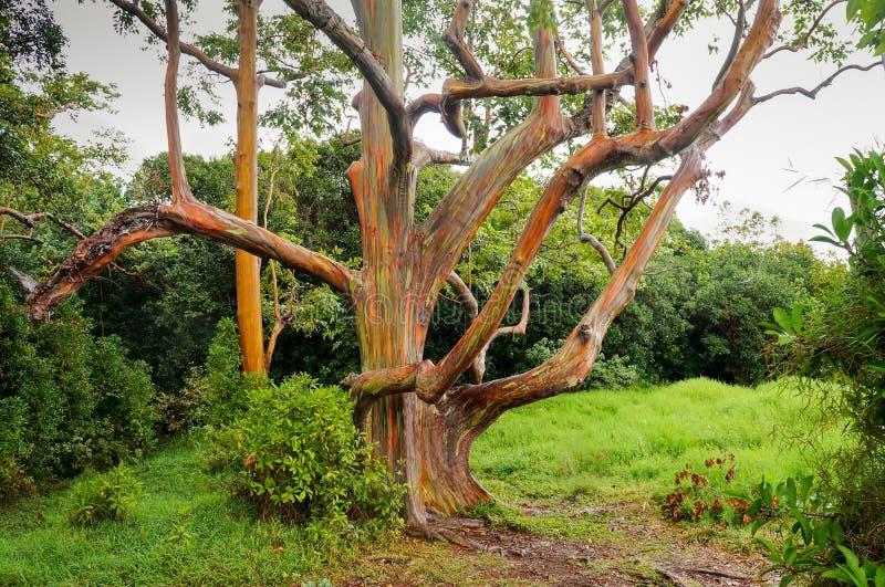 Arbres d'eucalyptus d'arc-en-ciel, Maui, Hawaï, Etats-Unis photographie stock