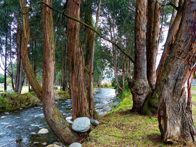 Arbres d'eucalyptus le long de la rivière de Yanuncay, Cuenca, Equateur photos stock