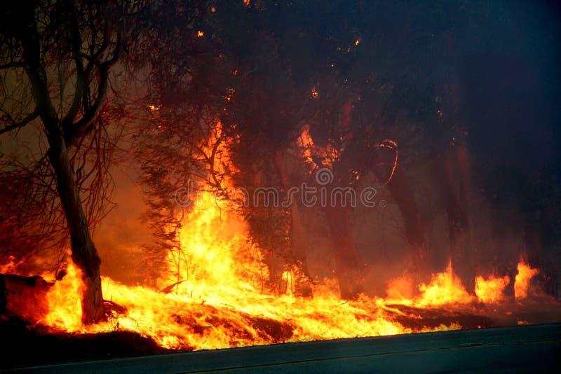 Arbres d'eucalyptus sur l'incendie photos libres de droits