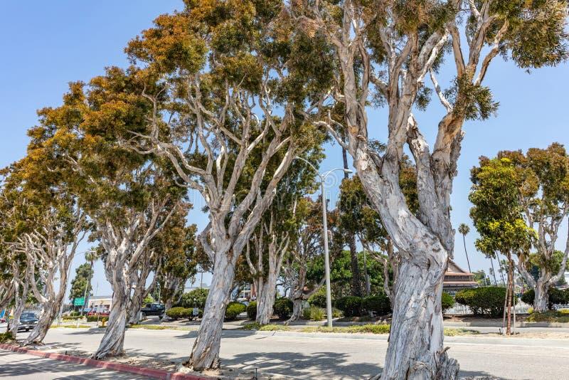Arbres d'eucalyptus sur le fond clair de ciel bleu Jour de source ensoleill? photographie stock