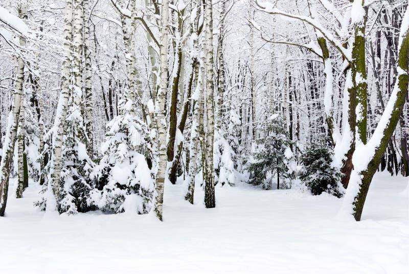 Arbres d'hiver couverts de neige dans la forêt. photos stock