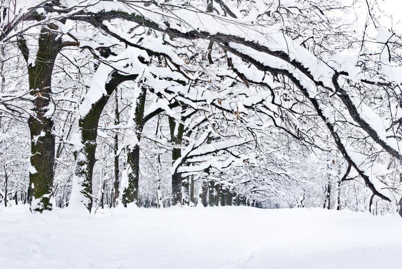 Arbres d'hiver couverts de neige dans la forêt. image stock