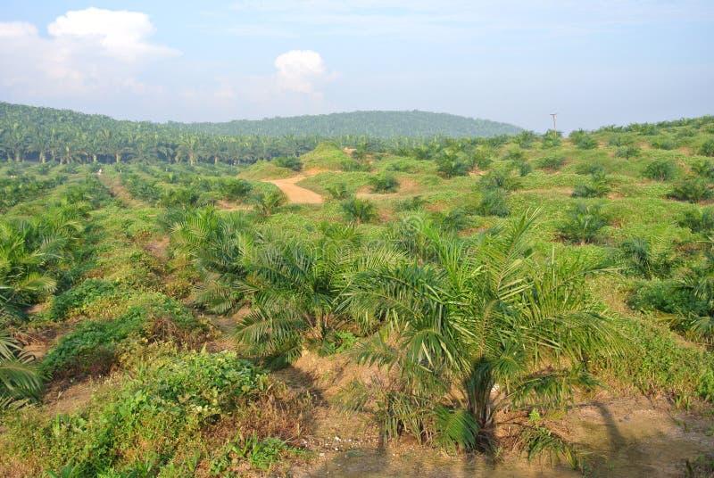 Arbres d'huile de palme dans la plantation de domaine d'huile de palme photos libres de droits