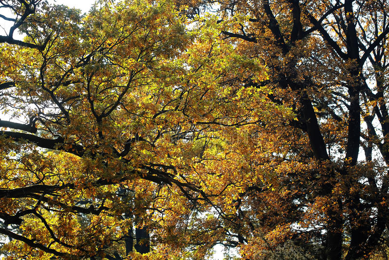 Arbres d'or-leaved large-couronnés grands d'automne images libres de droits