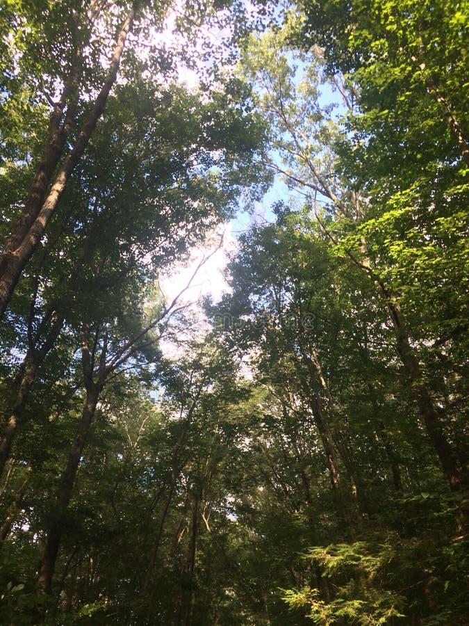 Arbres dans les bois image libre de droits
