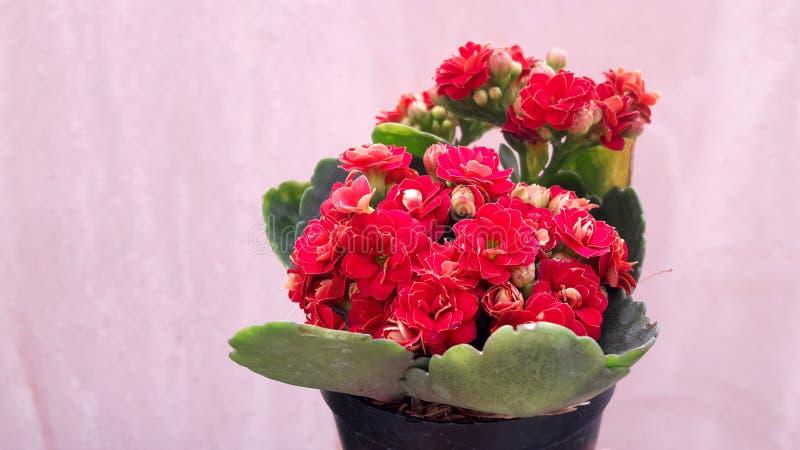 Arbres dans un pot de fleur rouge - rose, employez l'ornamental - décoratif, belles feuilles vertes, belles photo stock